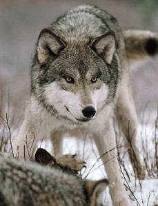 wolf bozeman