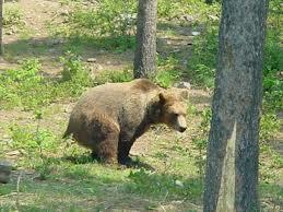 bear sh in woods